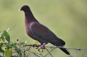 Red Billed Pigeon