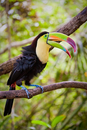Toucan at the Belize Zoo